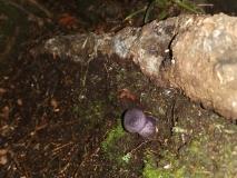 13b: Violetter Klumpfuss