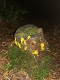 10: Gelbe Wiesenkoralle